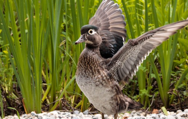 A female wood duck stretcher her wings upward