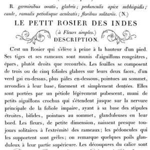 Le Petit Rosier  (24″x33″)