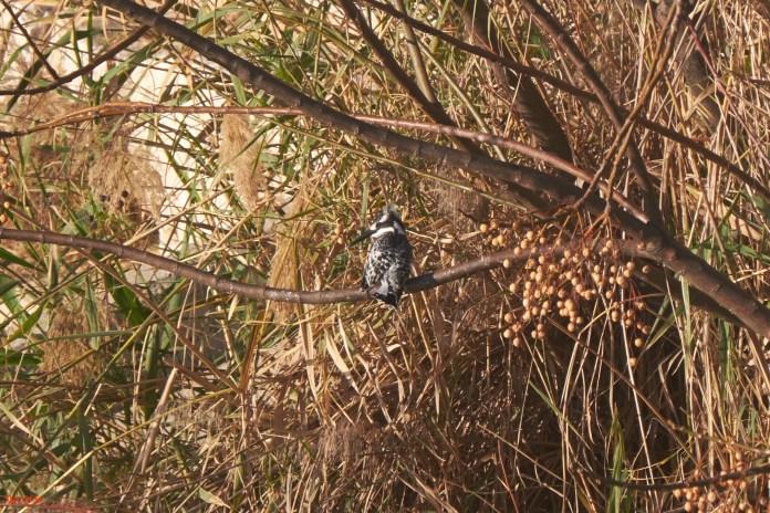 Day 6 Kingfisher.jpg