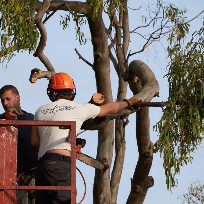 Eucalyptus sequence 1