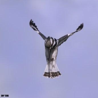 Kingfishers 2