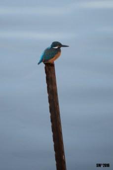 Kingfishers 3
