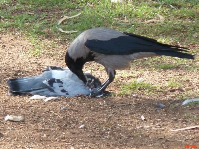 Pigeon for breakfast.jpg
