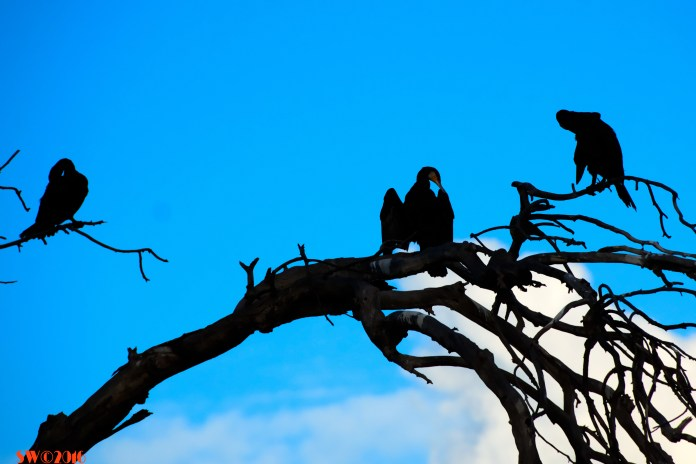 cormorants-on-branch