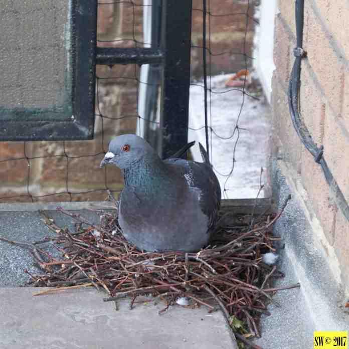 Pigeons 1.1
