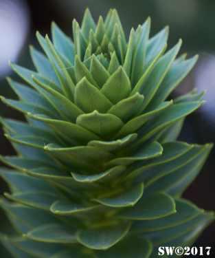 Araucaria leaves