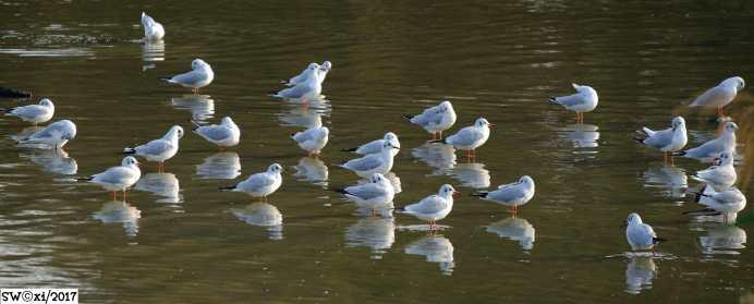 Gull forum