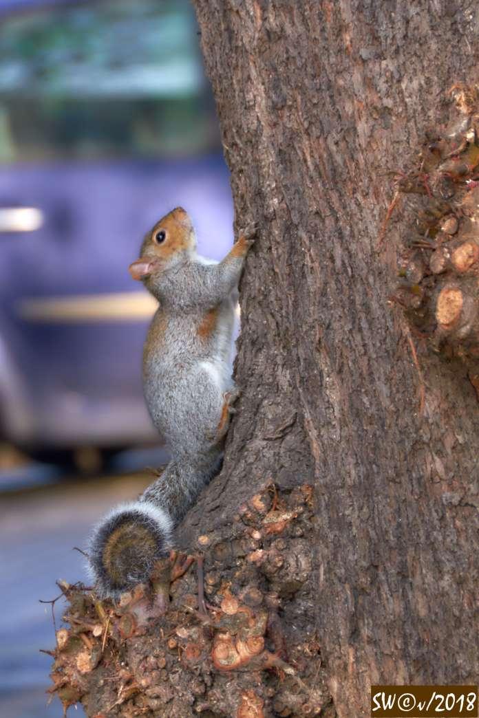 Squirrel Belsize