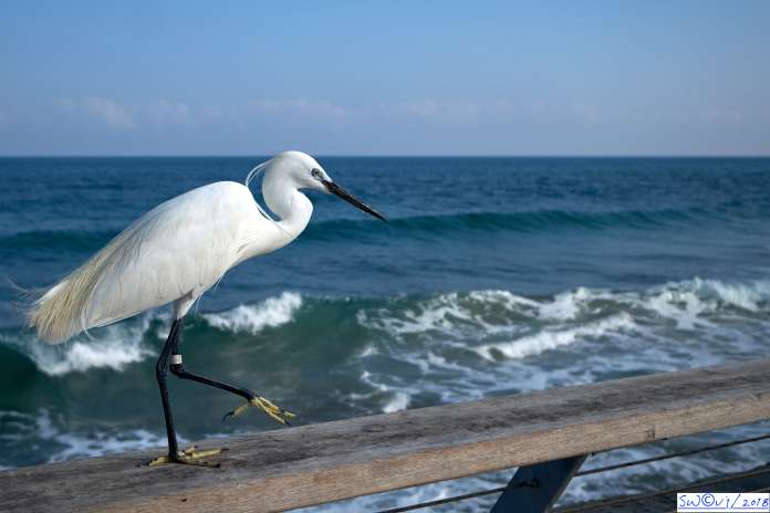 Optimistic egret