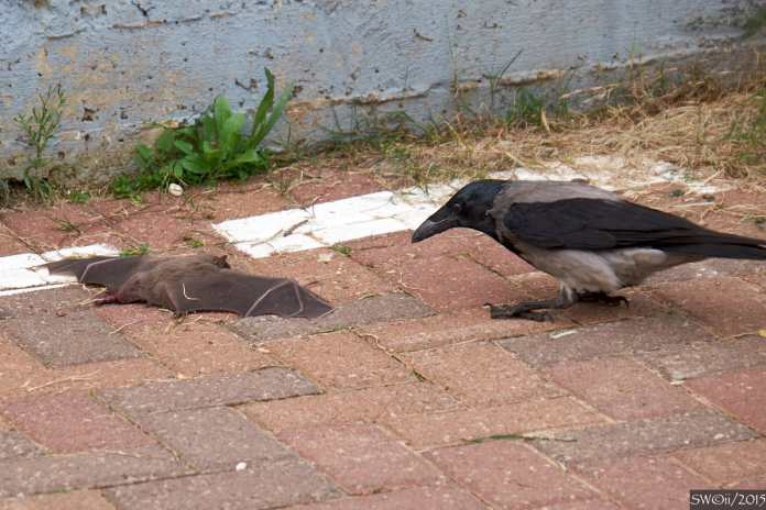 Crow & bat.jpg