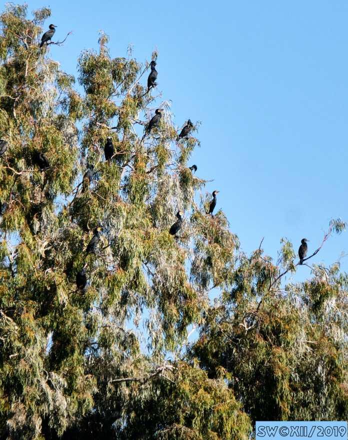 Cormorants on guard