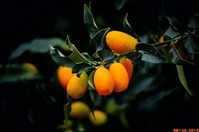 Kumquat time