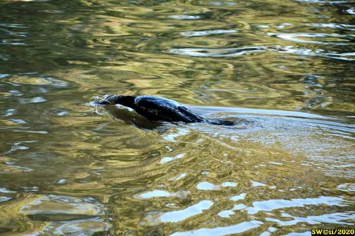 Cormorant spots a fish
