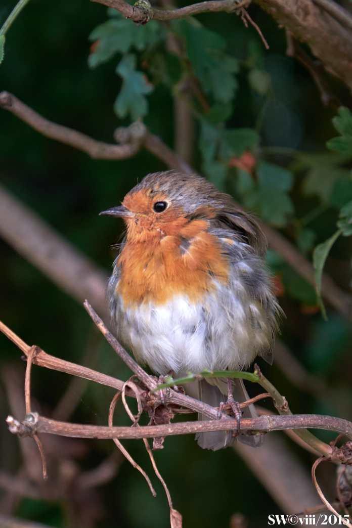 Robin viii. 2015