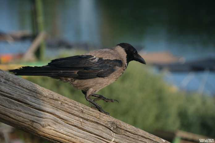 Crow being careful