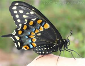 black swallowtail - wings folded