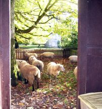 The Sheep Outside