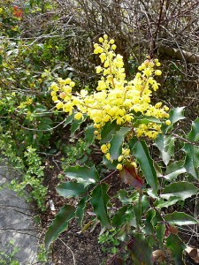 Oregon grape is a hardy native plant with yellow flowers in spring, dark purple berries in summer and shiny, though prickly, leaves all year. Church of the Madeleine has Oregon grape along its parking lot fence on Northeast 24th Avenue. (Janet Goetze)