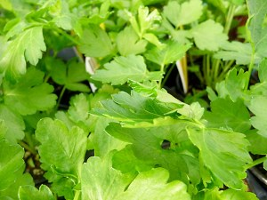 Many gardeners are choosing edible plants, nursery owners say. Italian parsley is a leafy green used for salads and seasonings. It is one of many edibles that can grow in pots. (Janet Goetze)