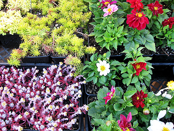 A limited number of free plant starts will be given away on May 3 at the Hollywood Farmers Market. (Ari Rosner)