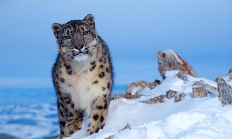 snow-leopard_himalaya