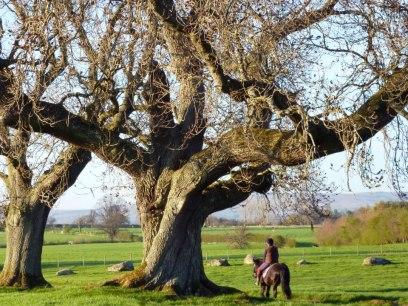 Long Meg ancient tree_n