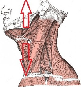 mandibola-cranio2-280x300