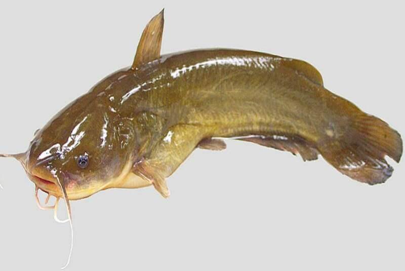 hama dan penyakit ikan lele star farm
