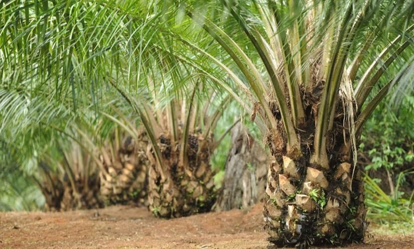jenis tanah untuk kelapa sawit star farm