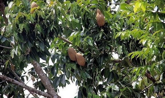 cara-budidaya-pohon-mahoni-star-farm