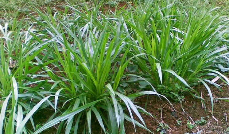 cara-menanam-rumput-odot-star-farm