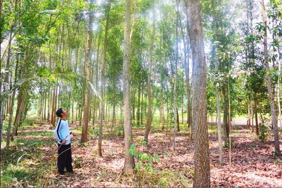 manfaat-akasia-mangium-star-farm