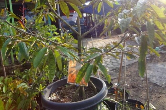cara menanam pohon durian