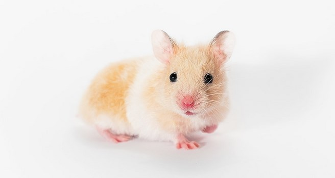 cara merawat hamster yang baru lahir star farm1