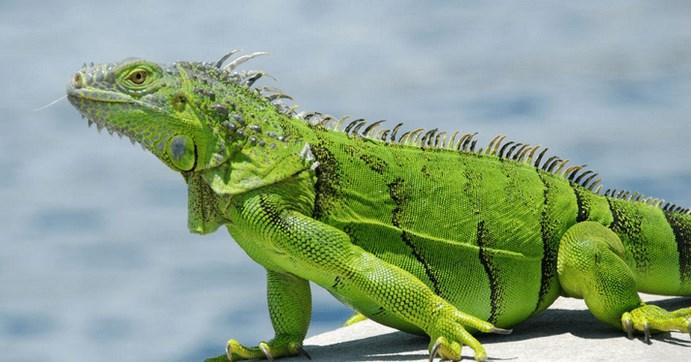 jenis makanan iguana hijau