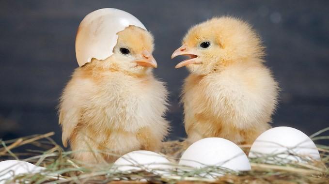 Cara-Membuat-Kandang-Anak-Ayam-Baru-Menetas-star-farm