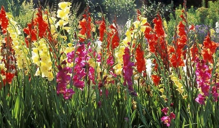 menanam-bunga-gladiol-star-farm