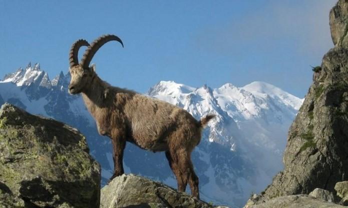 Kambing-Alpen-star-farm
