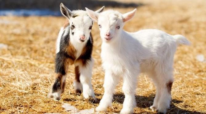 kambing-pygmy-star-farm