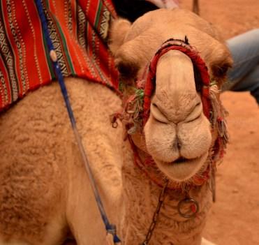 Friendly Camel, Petra