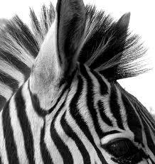 Stripey Zebra
