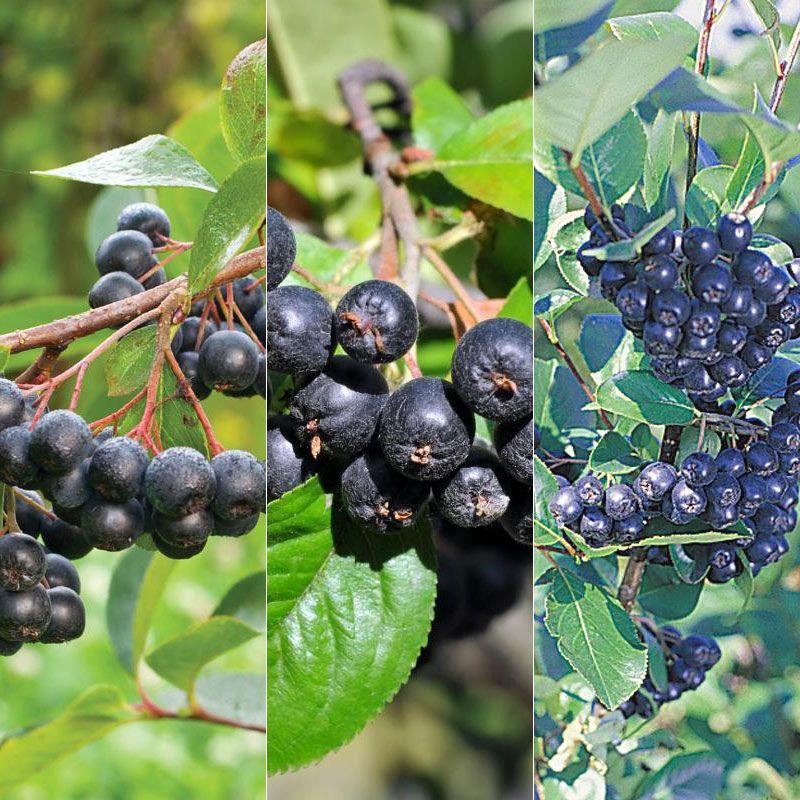 Four Seasons Aronia Berry Plant Collection - Stark Bro's