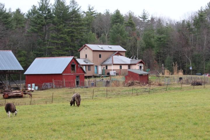 Llamas Grazing on Farm and Property