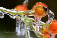 Rosehips on Ice 1