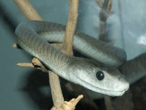 Black Mamba on tree twig