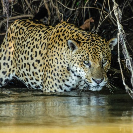 Jaguars in the northern Pantanal wetlands in Brazil were observed eating mainly fish and reptiles, which is unusual for the species. (Daniel Kantek/Zenger)
