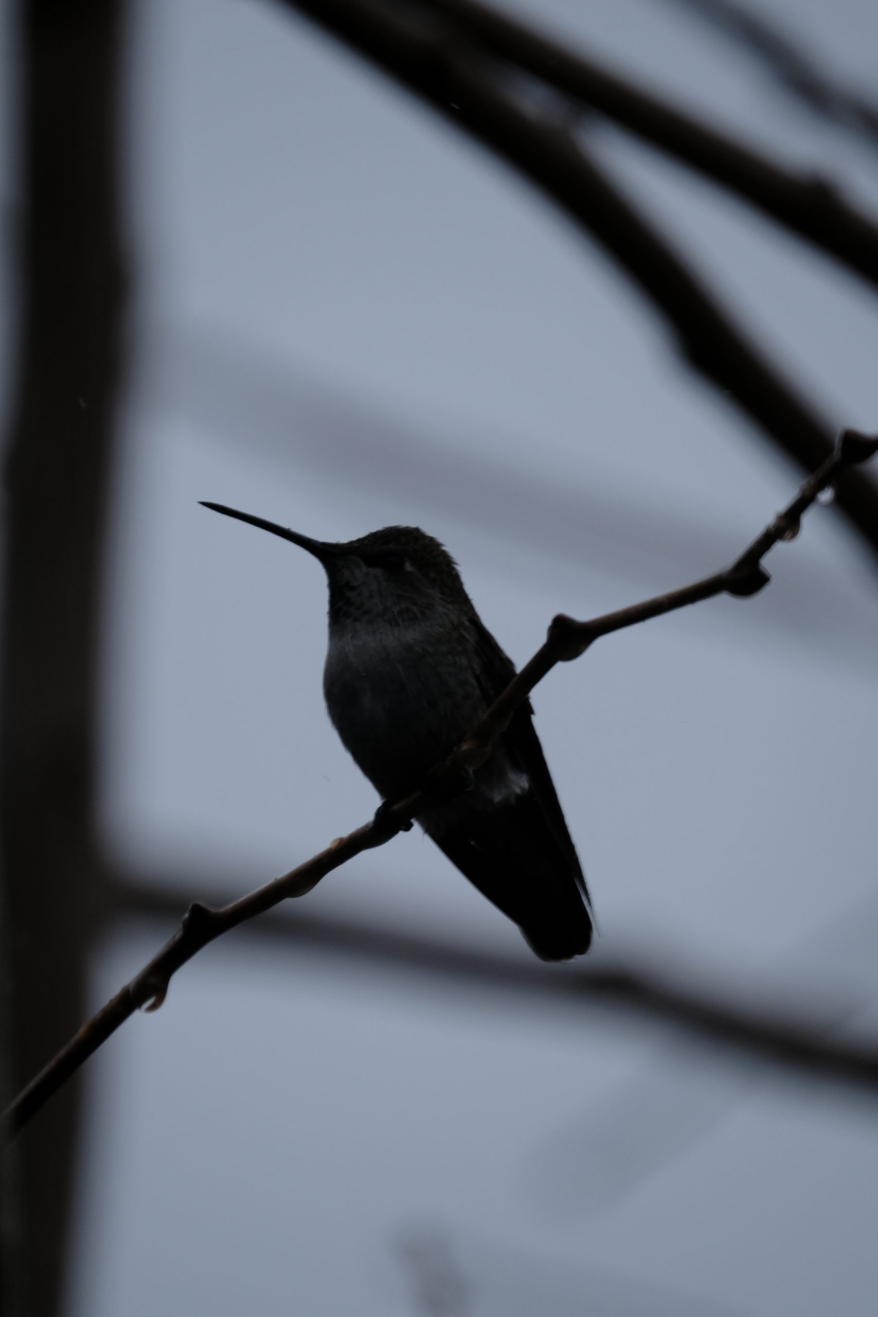 Hummingbird Silhouette 15 December 2020 Oregon Copyright Steve J Davis