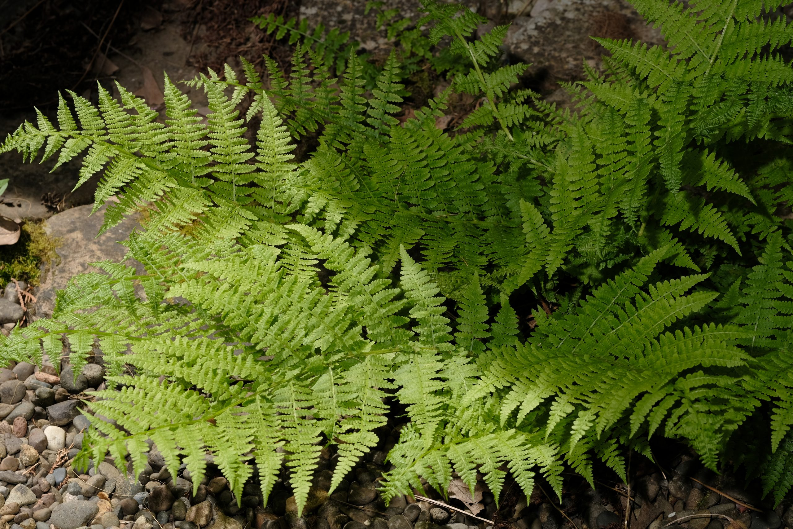 Fern_Oregon 2 May 2021 Copyright Steve J Davis