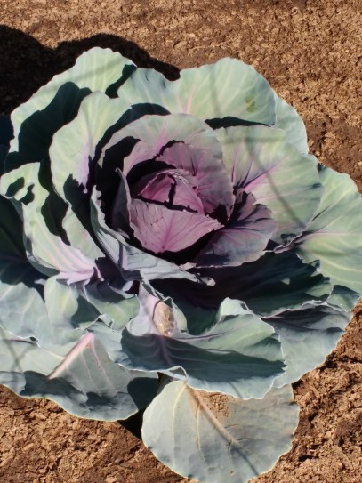 Our beautiful lone cabbage