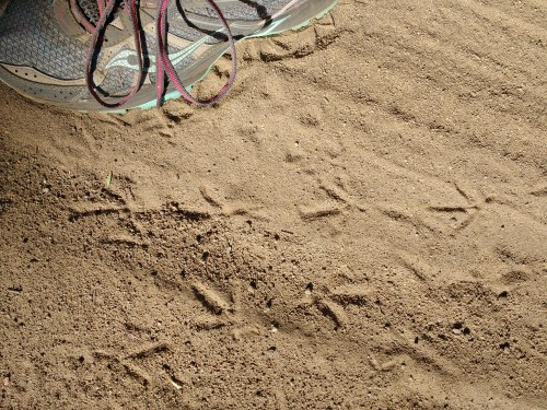 California quail tracks